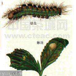 茶园茶毛虫类的生活习性与防治